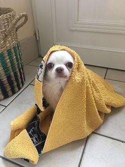 Bañar-a-un-chihuahua