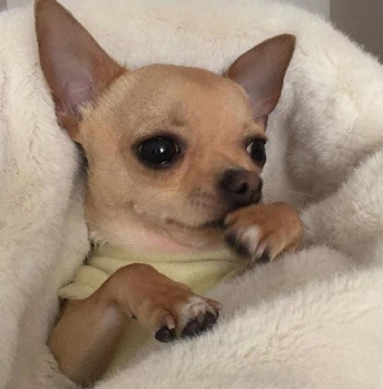 Cuidados-veterinarios-preventivos-para-tu-chihuahua