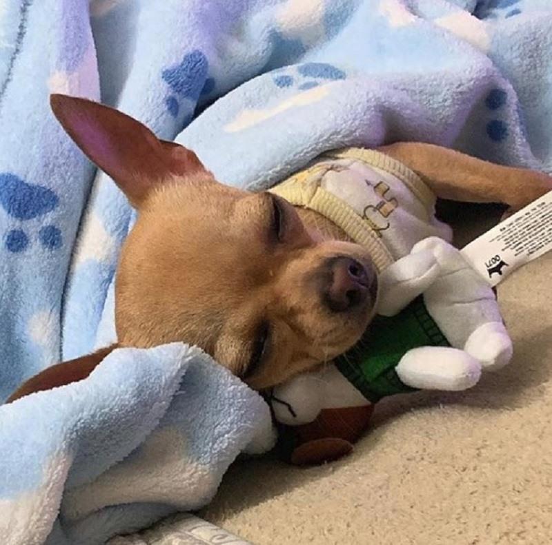 nombres-para-Chihuahuas