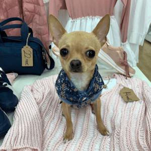 Chihuahuas-por-todas-partes