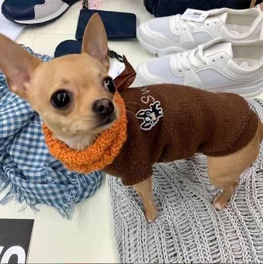 es-apropiado-vestir-a-tu-chihuahua