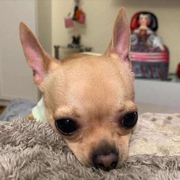 Keko Chihuahua